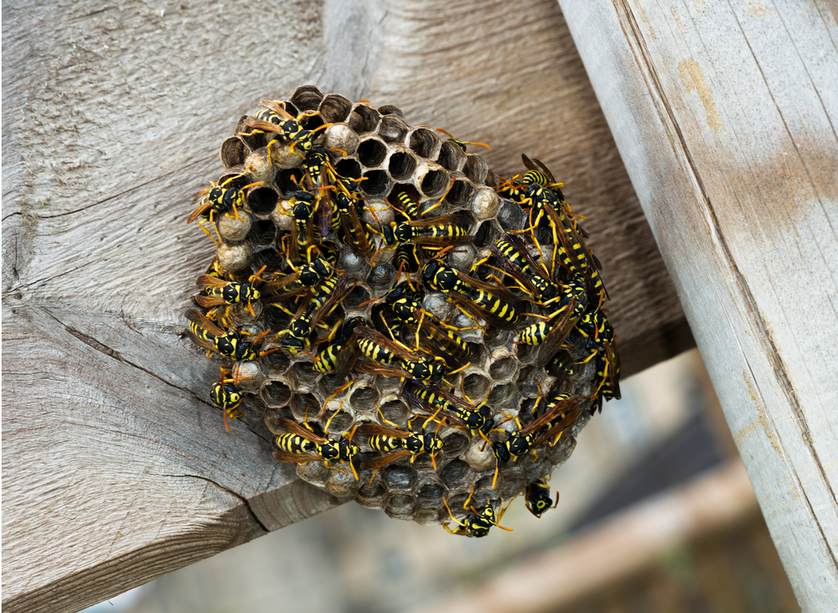 Image Result For Carpenter Bees Extermination